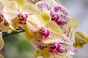 Yellow and purple orchid flower blooming in the garden