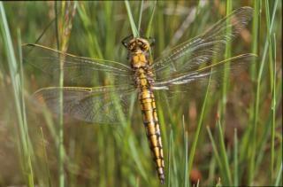 Yellow dragonfly, closeup