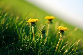 Yellow flowers close