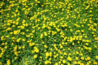 Yellow flowers view from above