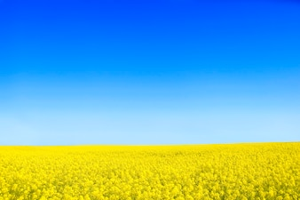 Yellow flowers with a blue sky