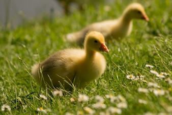 Yellow goose chicks
