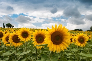 Yellow sunflowers field