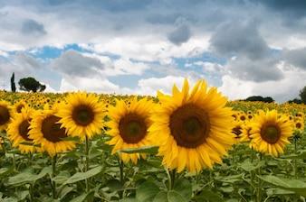 Yellow sunflowers field