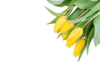 空白と黄色のチューリップ