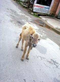 young buffello