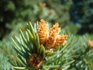 Young fir cones  green