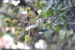 young rambutan fruit
