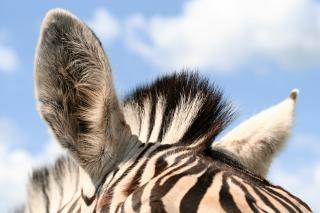 zebra ears  fur