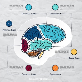 Brain infographic template with color details