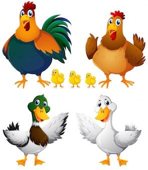 白い背景の鶏とアヒル