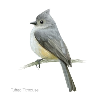 Detailed tufted titmouse bird illustration