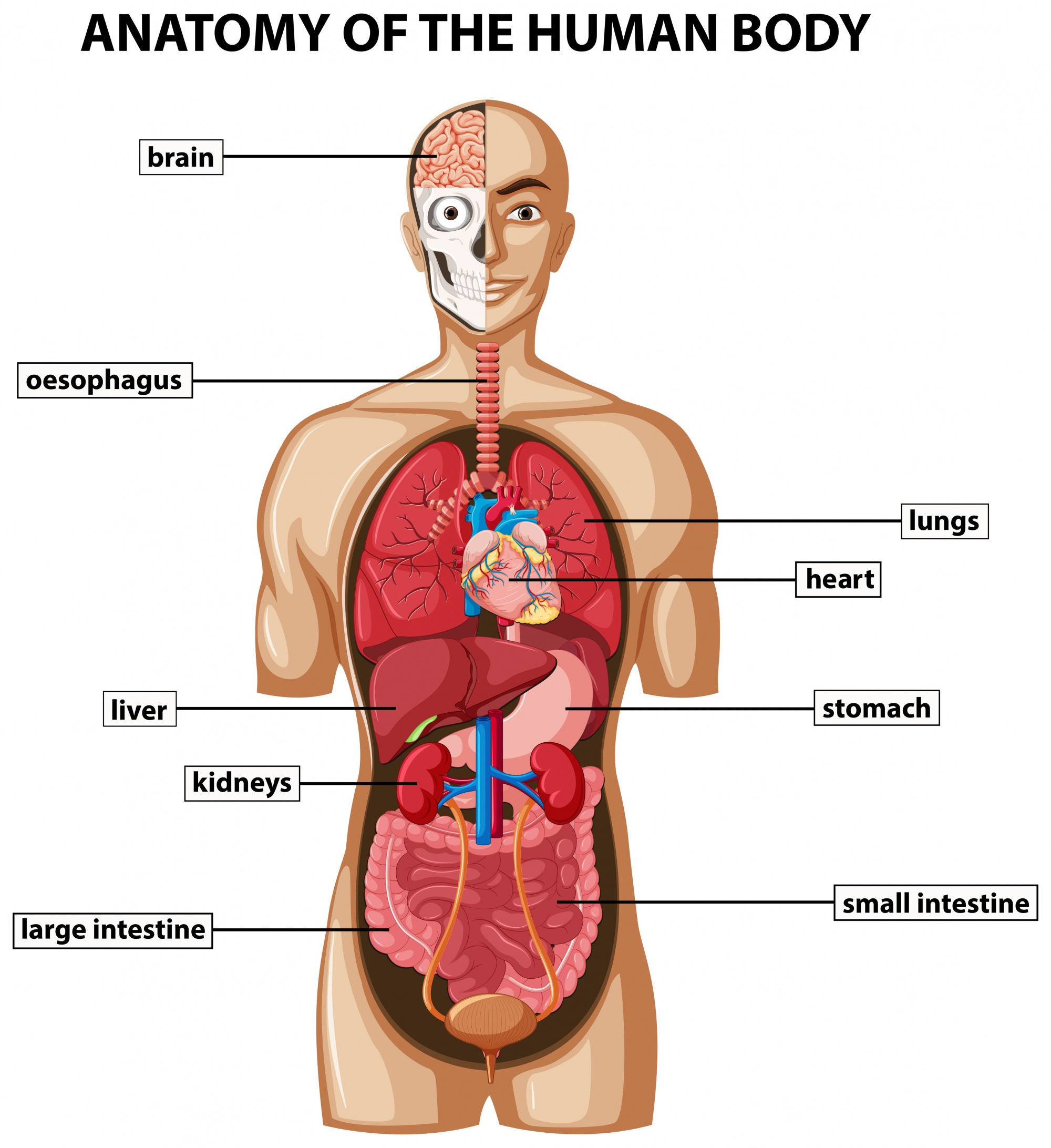 Diagram showing anatomy of human body with names