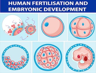 Diagram showing human fertilisation and embryonic development