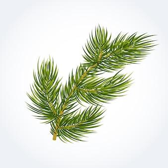 Green fir tree twig