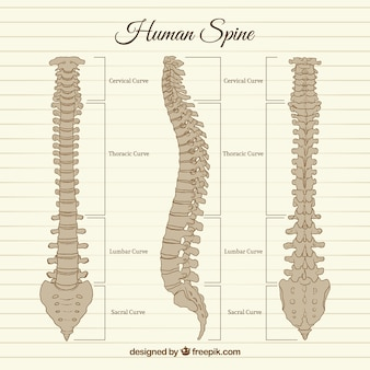 Hand drawn human spine