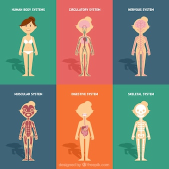 Human body systems in flat design
