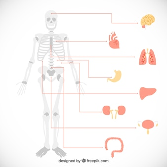 Infographic of human organs