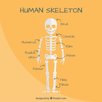 Nice human skeleton in flat design