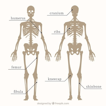 Parts of skeleton