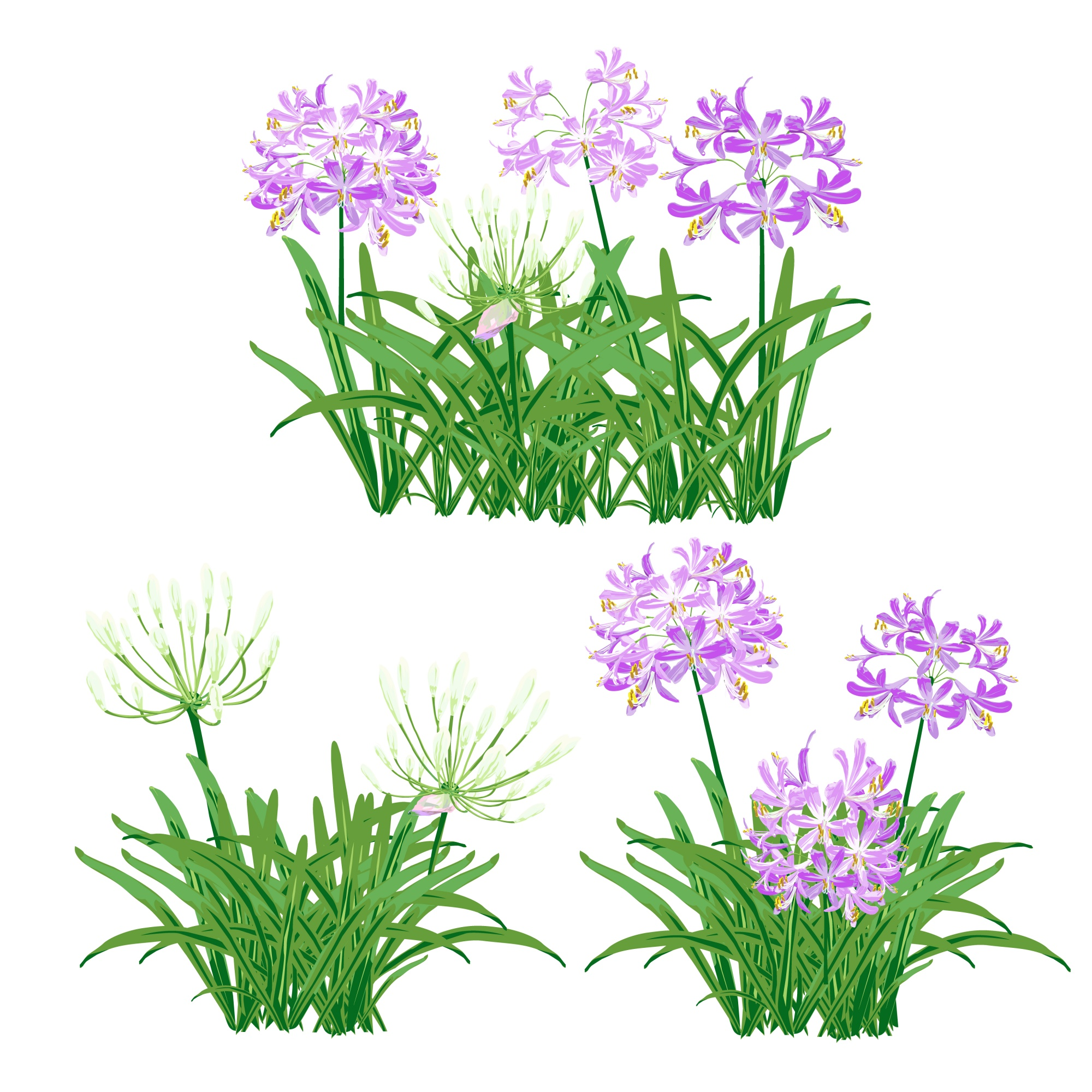 The agapanthus for object.