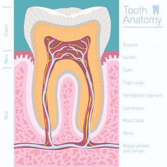 Tooth anatomy design