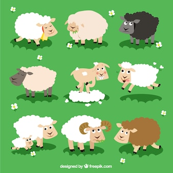 Variety of sheeps