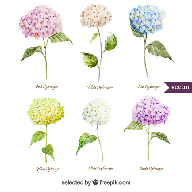 Variety of watercolor hydrangea flowers
