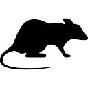 Rato que olha direita