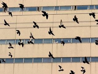colombe affluent pigeons de vol oiseau en vol