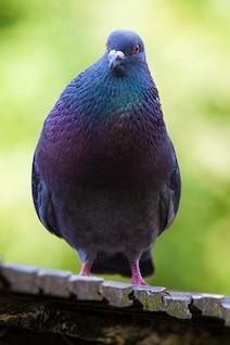 coloré couleur bec oeil détail colombe oiseau animal