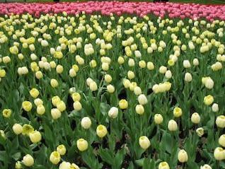 tulipes d'Ottawa