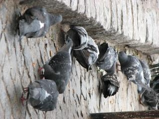 pigeons, animaux, aile