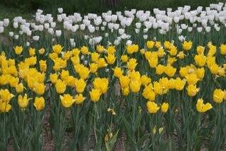 tulipes blanches et jaunes
