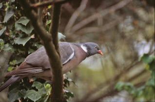 pigeon, les ailes