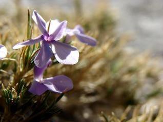 fleur de montagne, fleur