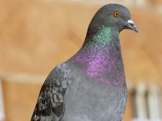 pigeon à Sienne, Toscane, Italie