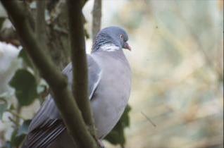 pigeon, sur le côté