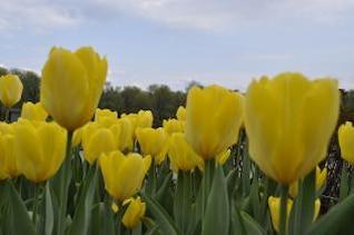 fleurs jaunes tulipes jaunes