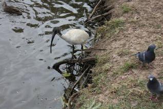 ibis et les oiseaux