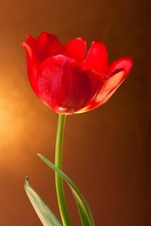 tulipe printemps