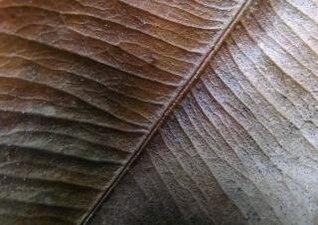 feuille veines feuilles
