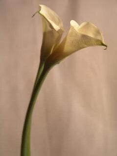 fleur jaune, lilly