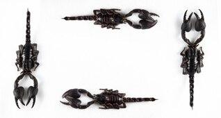 scorpion noir cadre