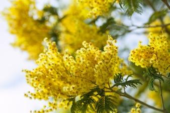 Acacia dealbata au printemps