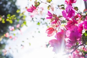 Arbre en fleur avec les rayons du soleil