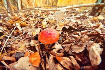 Automne dans la forêt. Champignon vénéneux.