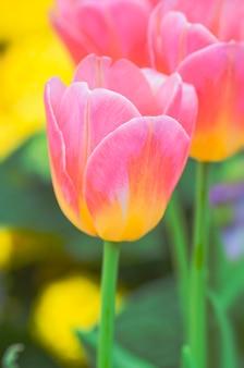 Beau mélange rose avec des tulipes de couleur jaune