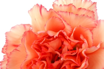 Beauté fleurir oeillet coloré