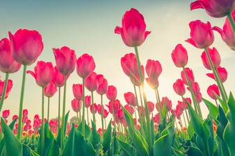 Beauté des tulipes beau champ de bouquet